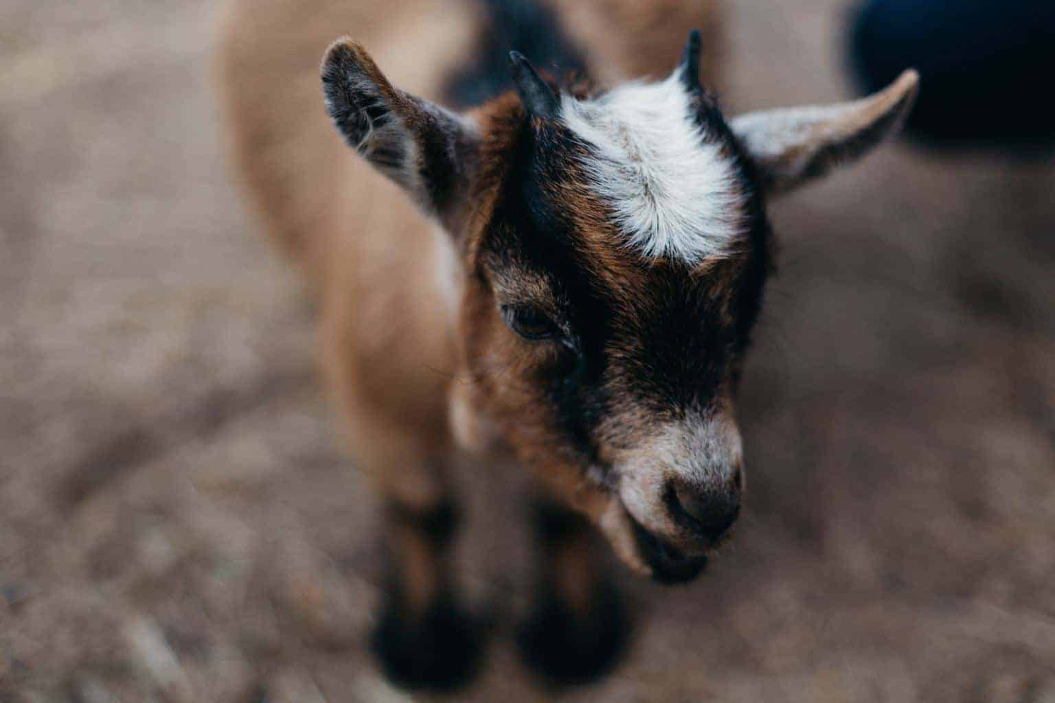 {Raising Dairy Goats} From someone who's never owned them….