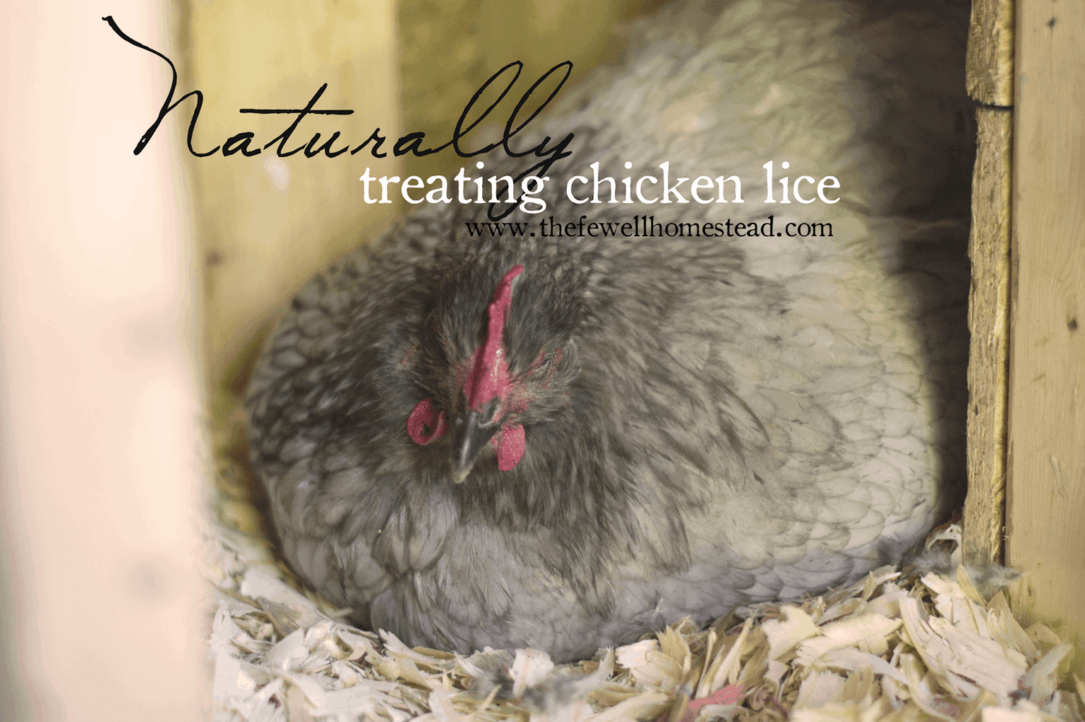 Naturally Treating Chicken Lice