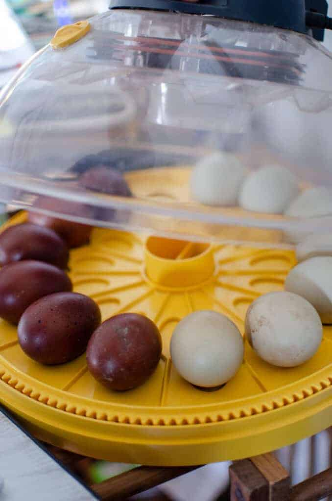 incubating chicken eggs 101