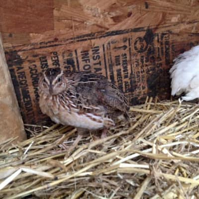 Quail on our Homestead | Not a complete fail, or success