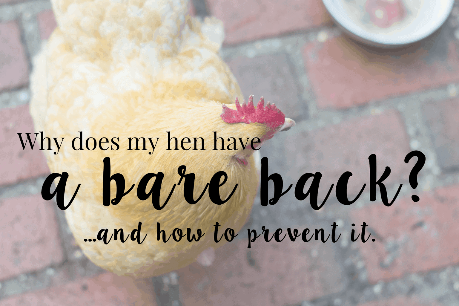 Why Does My Hen Have a Bare Back? And how to prevent it