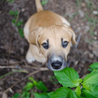 The Homestead Dog   Meet Delilah