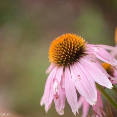 Starting a Medicinal Herb Garden