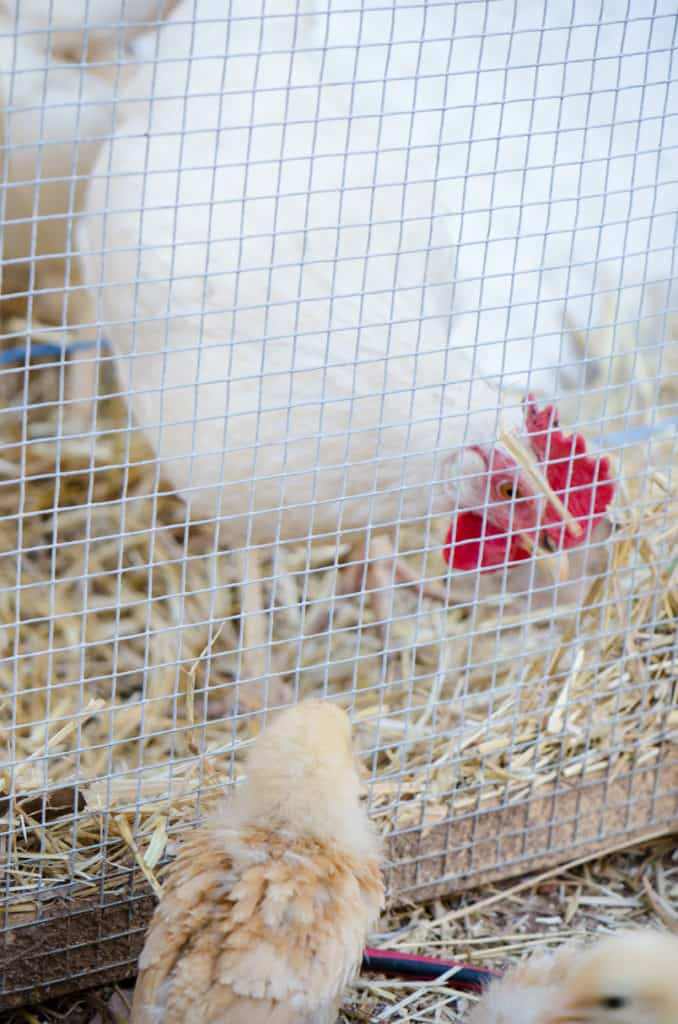 outdoor chick brooder