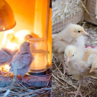 Setting Up Your Outdoor Chick Brooder