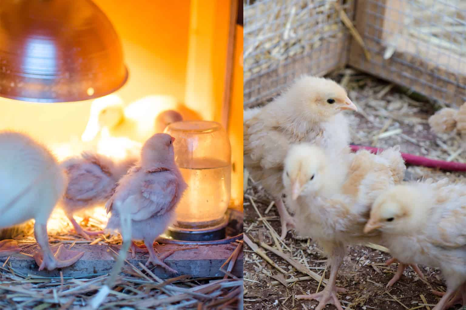 Setting Up Your Outdoor Chick Brooder (with video)