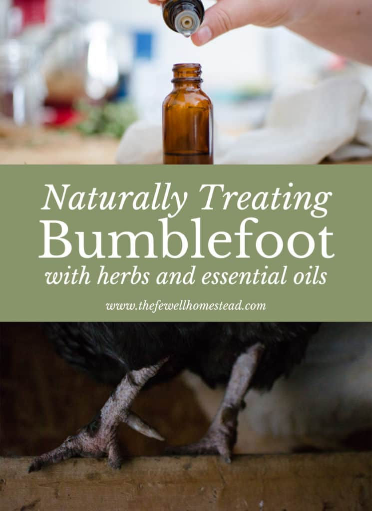 Naturally Treating Bumblefoot with Herbs and Essential oils is absolutely attainable! Here's how.