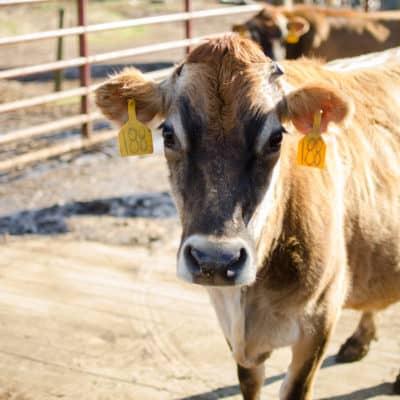 Homemade Anti-Parasitic Tincture for Livestock