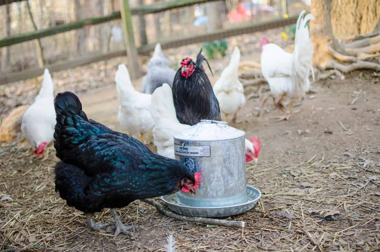 Naturally Keeping Chickens Cool | They Don't Need Your Help (with Video)
