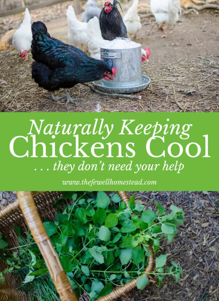 Your chickens don't need ice cubes and frozen treats, but they do need a few basics. Find out how to naturally keep chickens cool here.