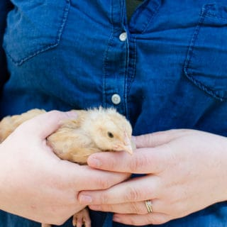 A Guide to Buying Baby Chicks