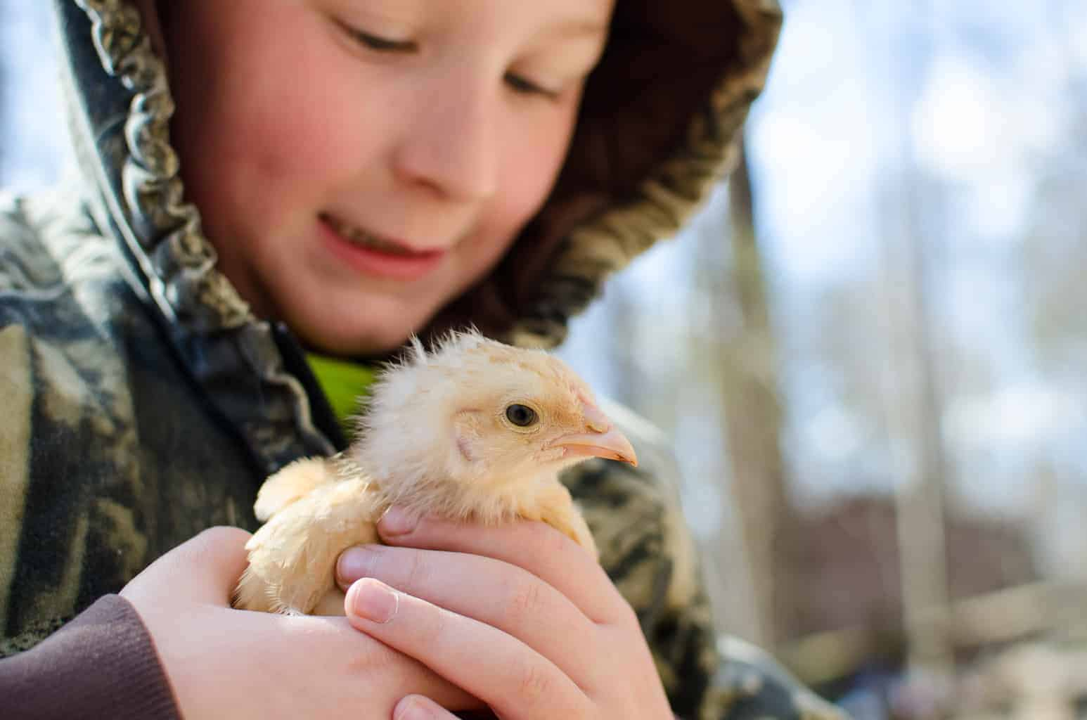 A Guide to Buying Baby Chicks, Baby chicks for sale
