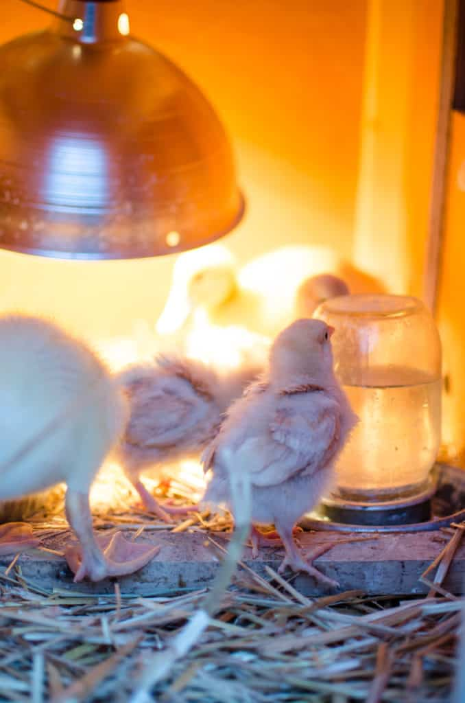 A Guide to Baby Chicks for Sale