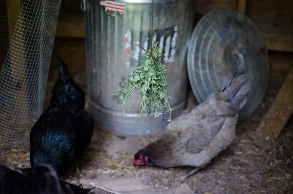 chicken coop herbs