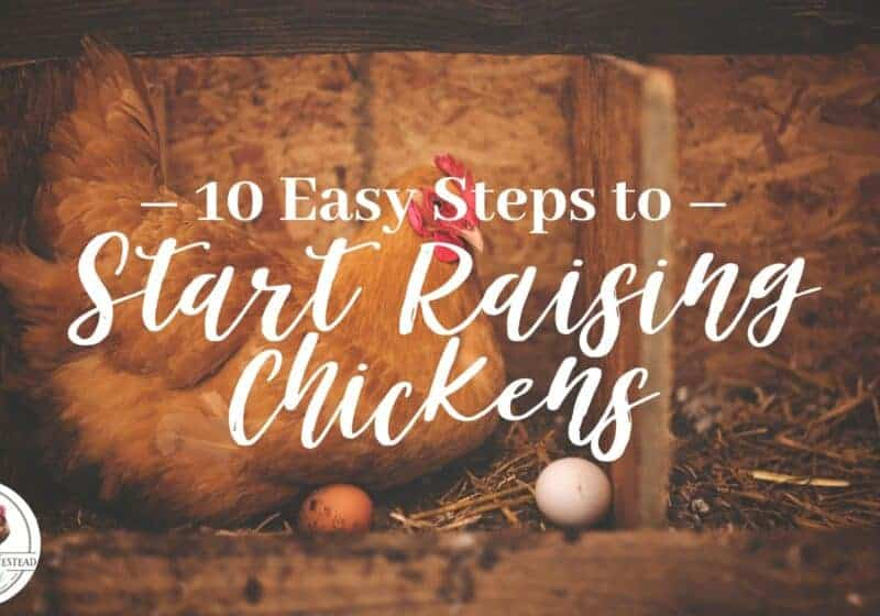 10 Easy Steps to Start Raising Chickens