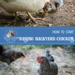 Easy Steps to Raising Chickens