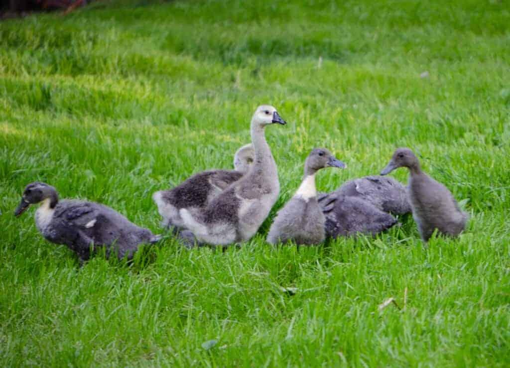 Easy Steps to Start Raising Ducks