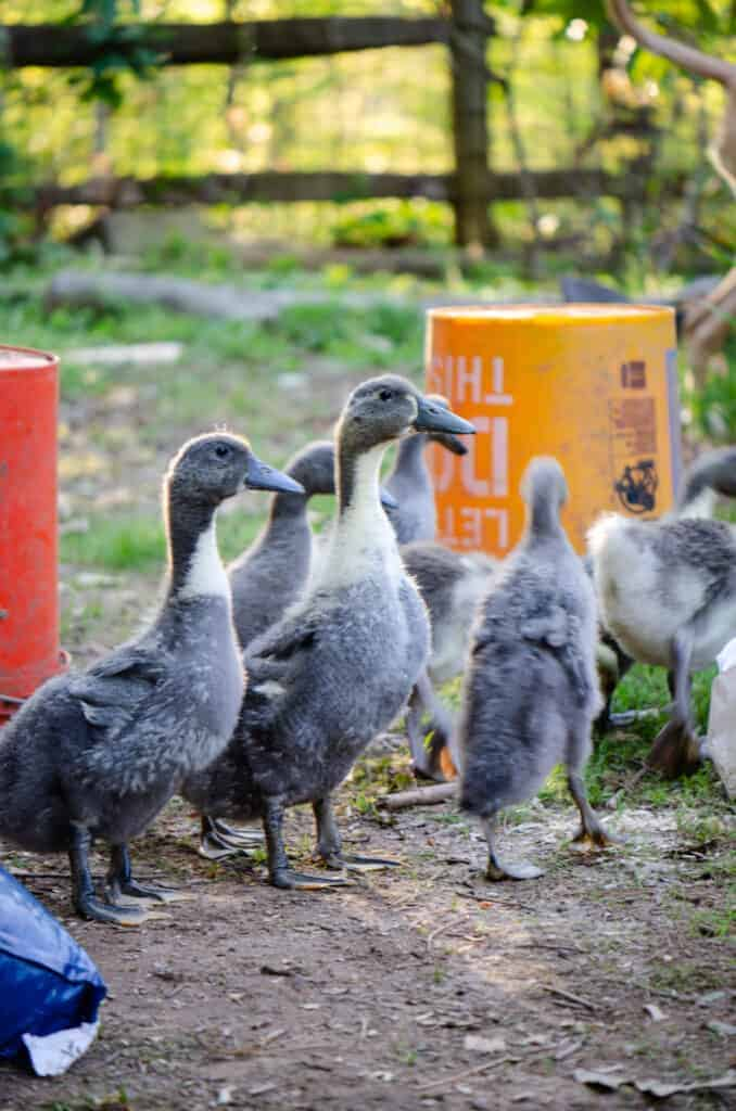Easy Steps to Raising Ducks