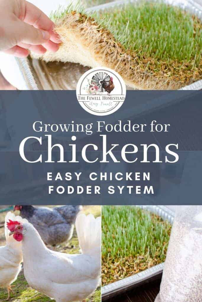Growing Fodder for Chickens, Pin for Later!