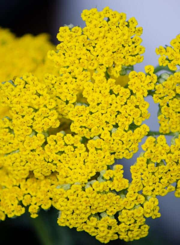 Medicinal Uses for Yarrow—The Homestead Herb