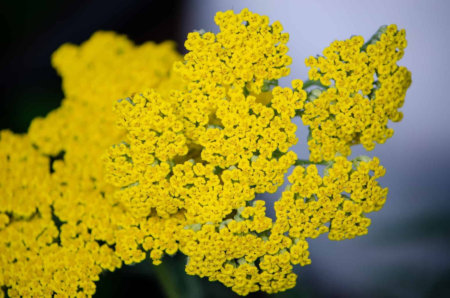 Medicinal Uses of Yarrow PLUS Yarrow Tincture