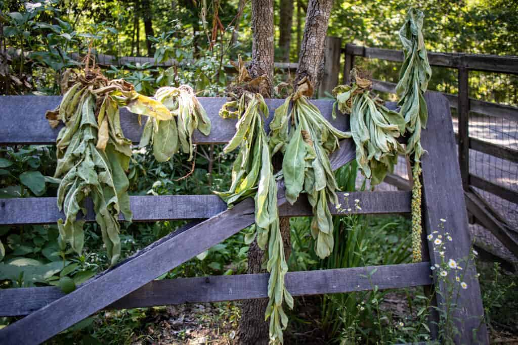 Medicinal Uses of Mullein