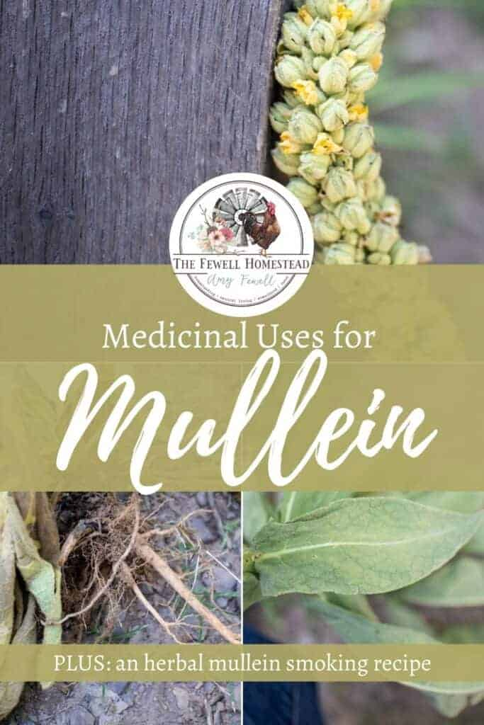 Smoking mullein for cough, plus the medicinal uses of mullein