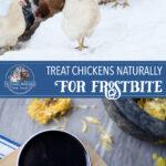 Natural Chicken Frostbite Treatment