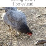 The Importance of Culling on the Homestead