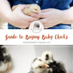 Guide to Buying Baby Chicks