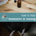Natural Bumblefoot Treatment for Chickens