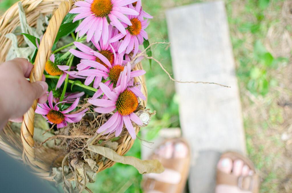 Echinacea, natural antiviral