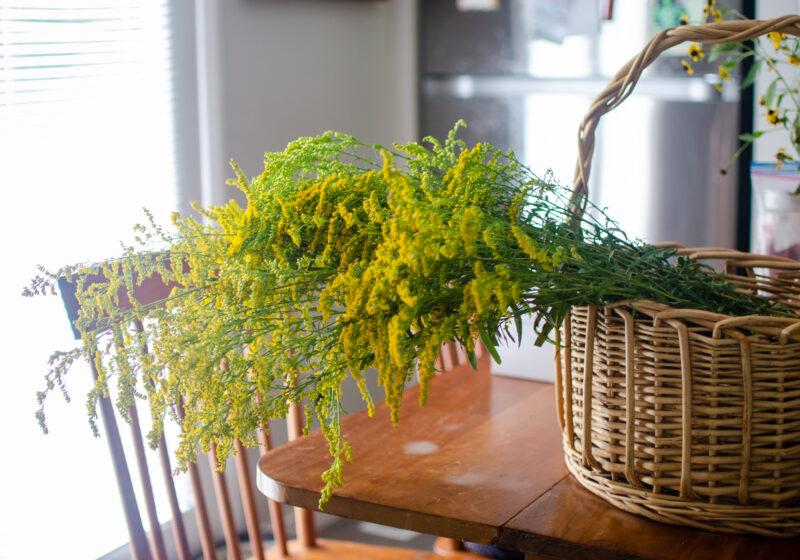 Medicinal Uses of Goldenrod & Goldenrod Tincture
