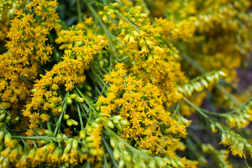 Goldenrod for seasonal allergies and hay fever season