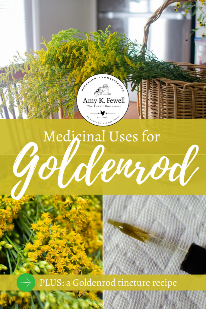 Medicinal Uses of Goldenrod: goldenrod tincture, goldenrod uses, and more.