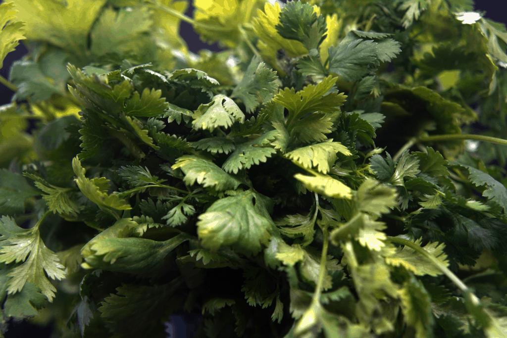 shade herbs, cilantro