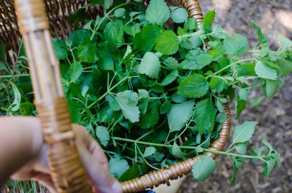 herbs that grow in the shade, lemon balm