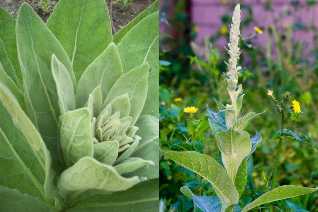 mullein leaves and flower stalk, wild herbs
