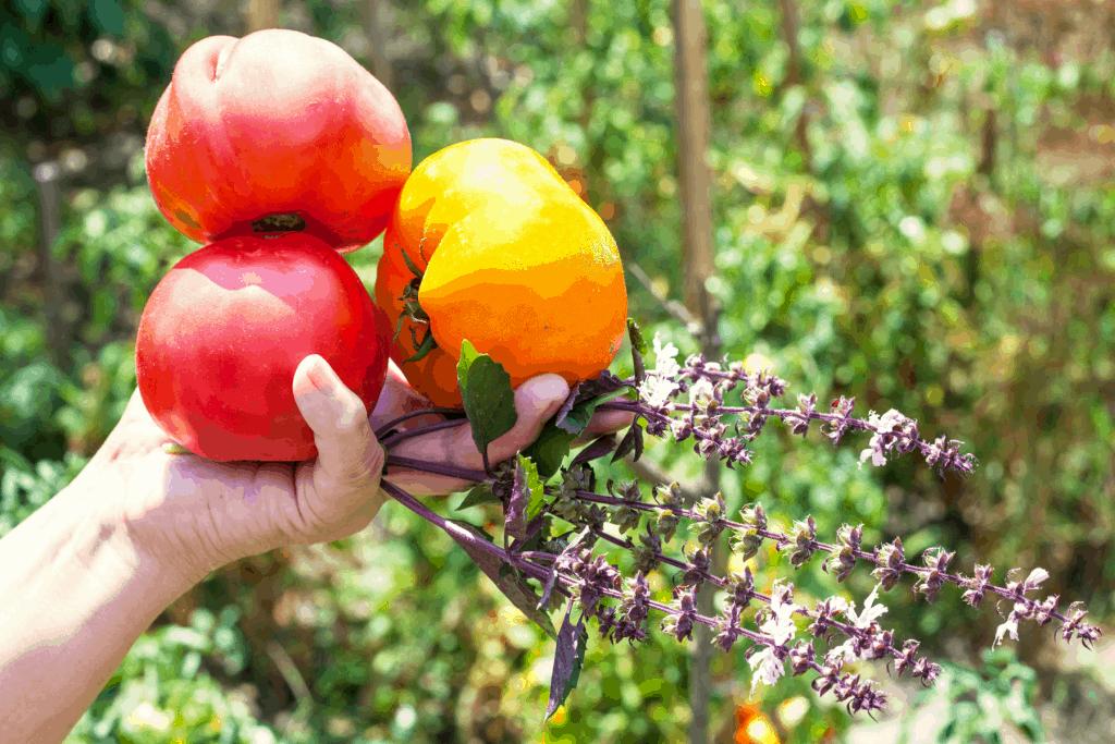 tomato companion plants, basil