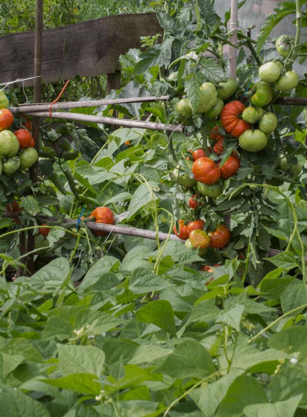 Using Herbs as Tomato Companion Plants
