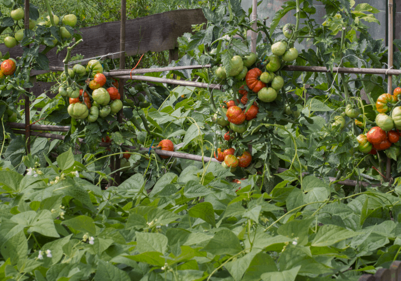 Using Herbs as Tomato Companion Plants