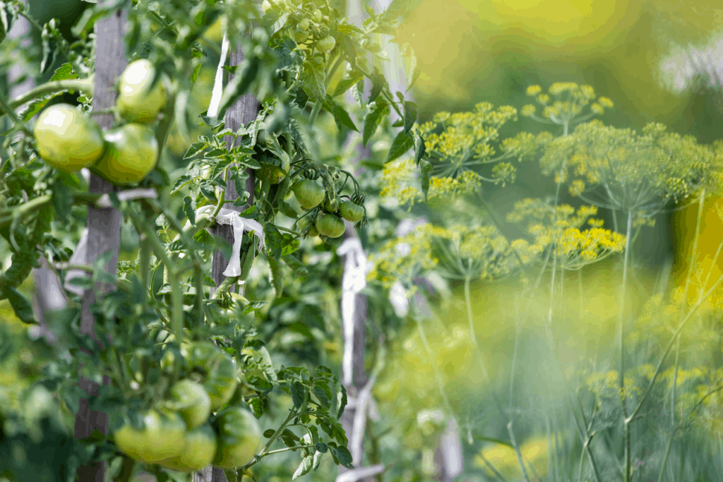 what not to plant near tomatoes