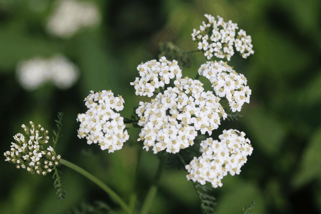 yarrow, herbs that like shade