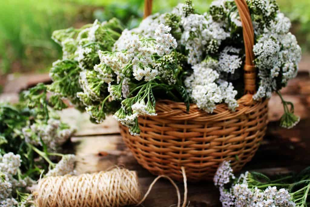 what to forage in spring, yarrow