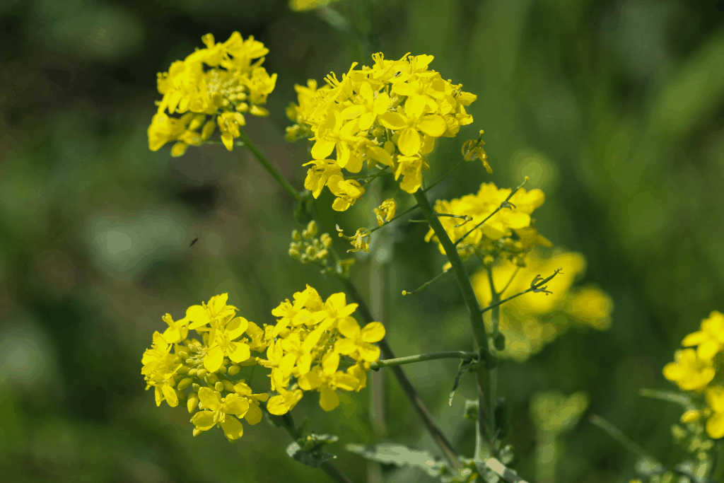weeder with yellow flowers, yellow rocket cress, edible medicinal