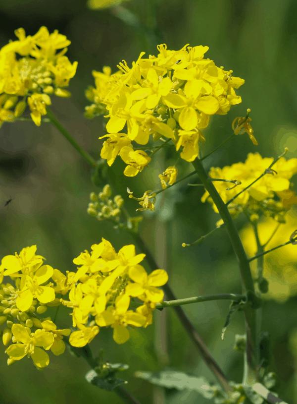 Yellow Rocket Cress | Wild Edible & Medicinal Plant