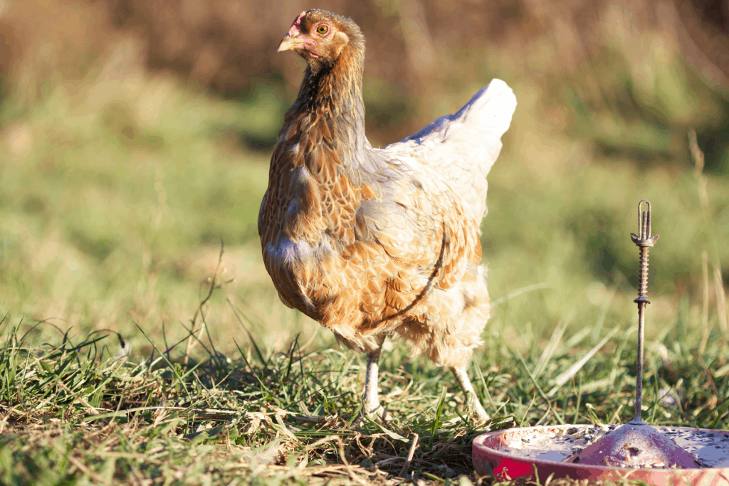 When and Why Do Chickens Molt? A chicken beginning to molt her feathers.